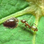 Linepithema_Argentine_ant